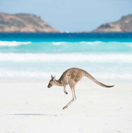 Tourism WA – Kangaroos at Lucky Bay, Western Australia