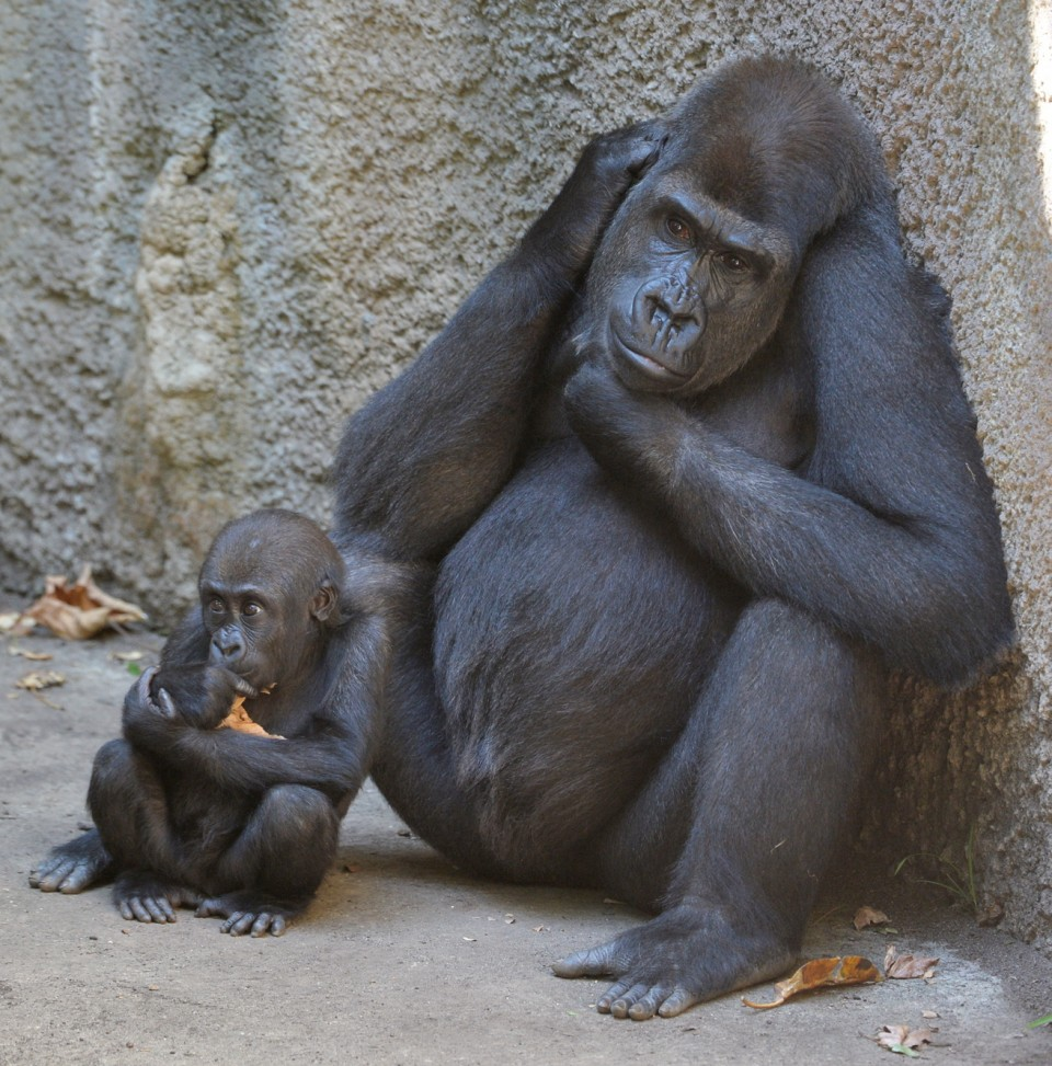 BABY GORILLA KANZI AGED ONE NOW VENTURING AWAY FROM ITS MUM  FOR THE FIRST TIME AT MELBOURNE ZOO