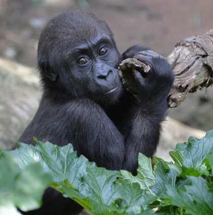 Baby Gorilla Kanzi Turns One, Melbourne Zoo